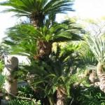 Arboretum - cikas